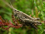 Chorthippus brunneus